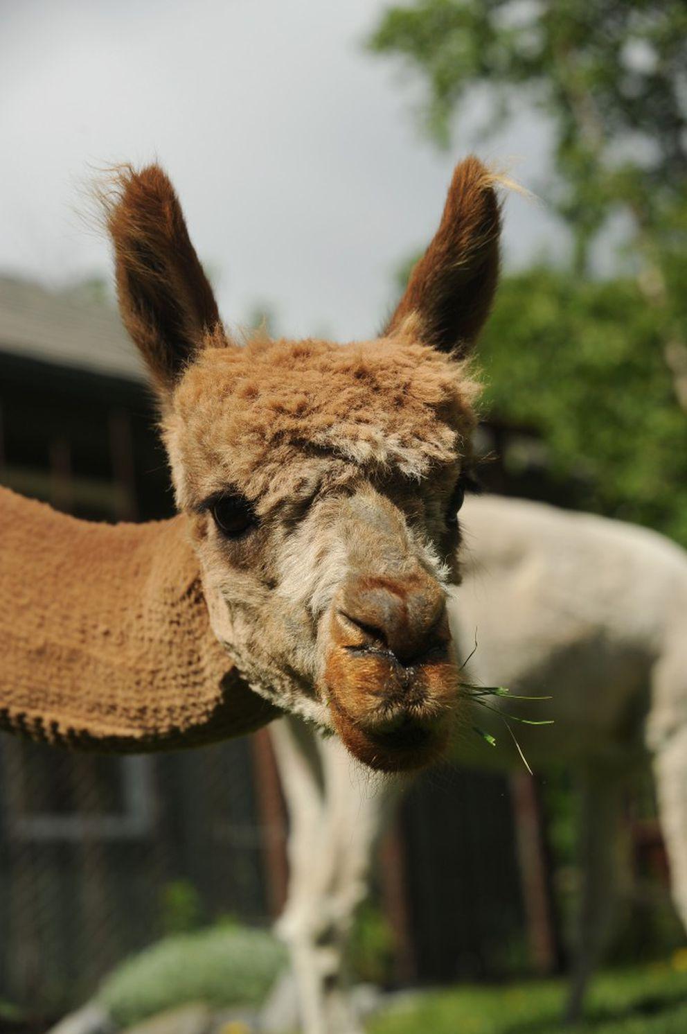 Mijo, one of Michelle Coburn's alpacas, grazes in the backyard of her home in south Anchorage. (Bob Hallinen / Alaska Dispatch News)