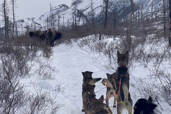 Musher Dan Kaduce and his team encountered bison blocking the Iditarod Trail on the Farewell Burn on Sunday, March 14, 2021. (Dan Kaduce photo)