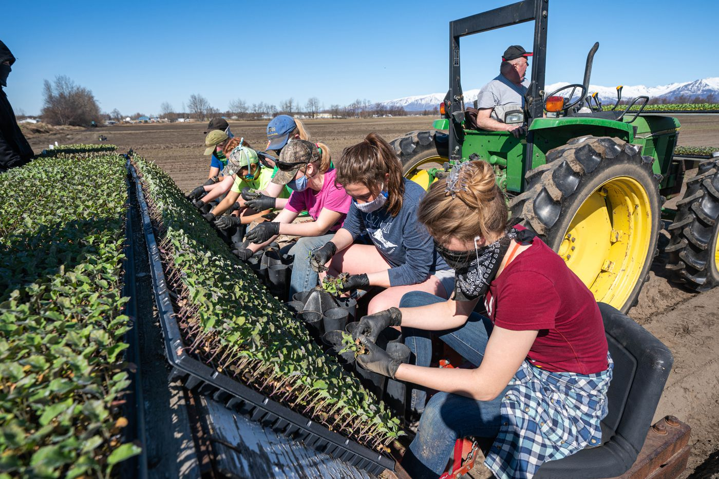 MAY 6. Workers plant 100,000 starts of lettuce, broccoli and cabbage at VanderWeele Farms in Palmer. The first crop of lettuce should be hitting area supermarkets in early July, according to Michelle VanderWeele. (Loren Holmes / ADN)