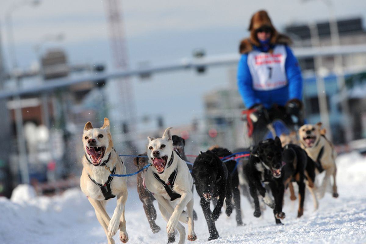 Arleigh Reynolds, of Salcha, drives his dog team down Fourth Avenue during the start of the Fur Rondy Sled Dog race in Anchorage on Friday, Feb. 21, 2014. Reynolds finished the first of three days of racing in first place with a time of 1:30:57. (Bob Hallinen / ADN archive)