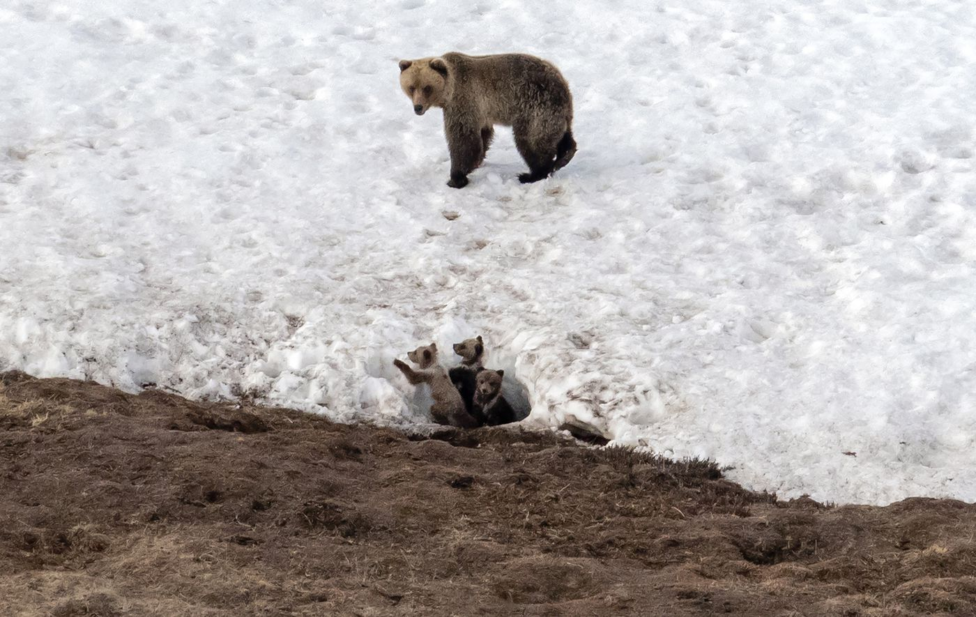 A grizzly ooks after her three cubs in Alaska's North Slope Borough. (Washington Post photo by Bonnie Jo Mount)