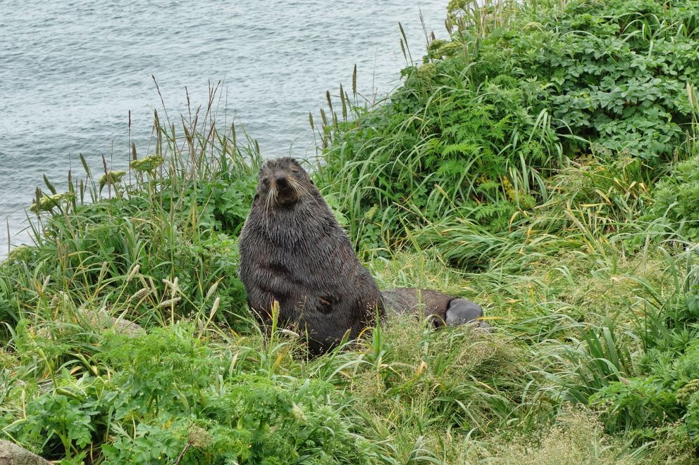 A northern fur seal rests by the side of the road on St. Paul Island. (Photo by Scott McMurren)