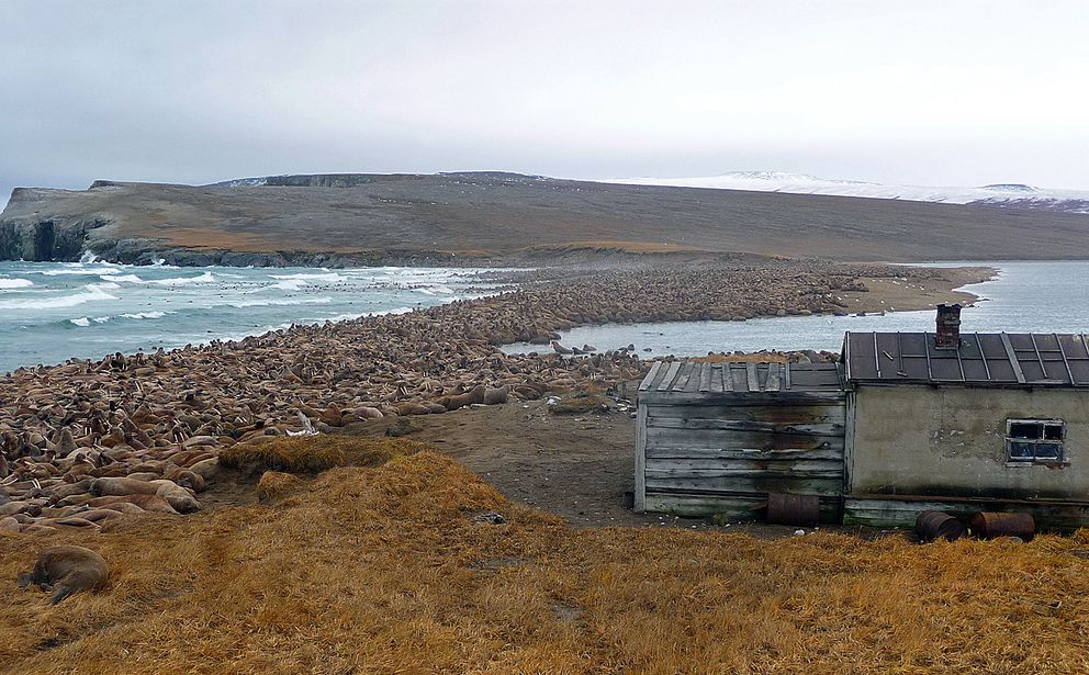 Cape Serdtse-Kamen has been reported as a walrus haulout since the 1920s, but until 1990 it was used by walruses irregularly, only in autumn of years when sea ice was absent. During the 1990s and 2000s, residents reported that walruses began hauling out annually in larger numbers. (Anatoly Kochnev / Mammals Ecology Lab Institute of Biological Problems of the North Far East Branch, Russian Academy of Sciences)