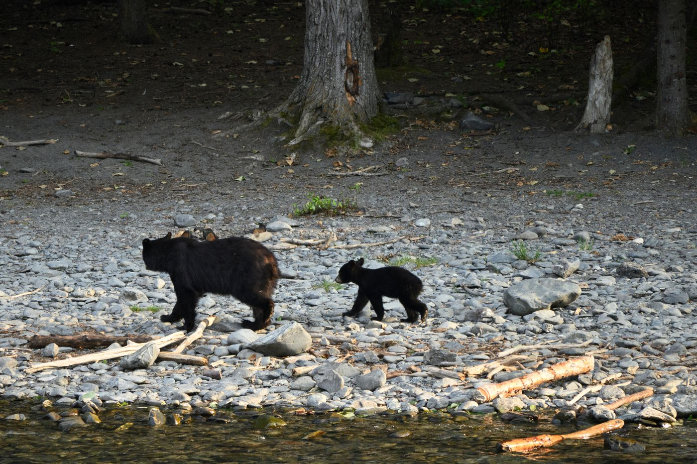 A black bear sow and cub pair were briefly spotted near where brown bears also fished on the Kenai River on July 30, 2020. (Marc Lester / ADN)