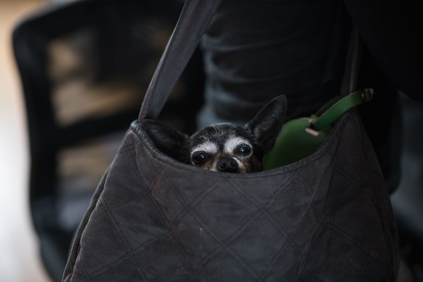 Conquistadora, a Chihuahua owned by Rachel Gonzalez, is carried in her bag. (Marc Lester / ADN)