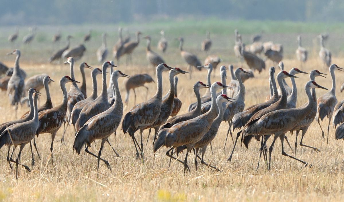 Sandhill cranes feed on farmland along Inner Springer Loop in Palmer as they prepare to migrate south for the winter. (Bill Roth / ADN)