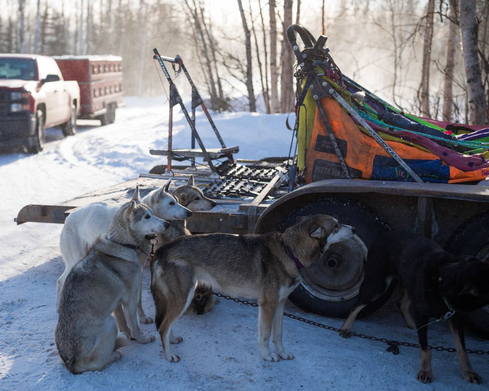 Dogs in Alan Eischens' team watch Eischens during the Iditarod vet checks in Wasilla on Wednesday. (Loren Holmes / Alaska Dispatch News)