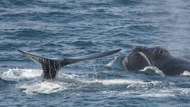 Scientists spot rare, mysterious right whales in waters off Alaska