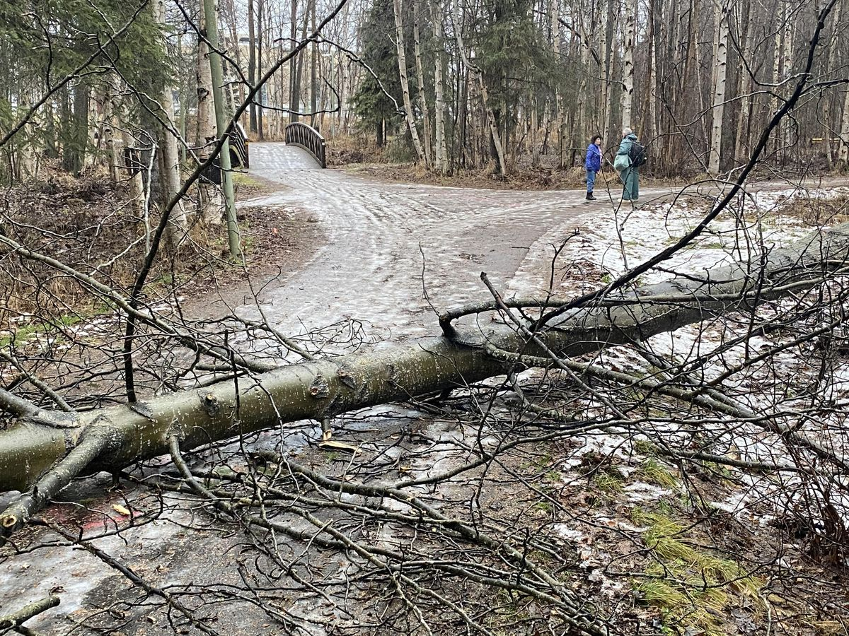 A tree blew down in the windstorm and blocked the Chester Creek trail Nov. 28, 2019. (Mike Lewis / ADN)