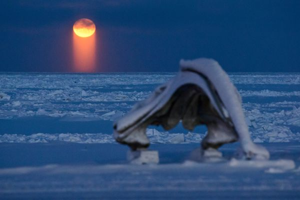The full moon rises into view beyond a bowhead whale skull in Utqiagvik, the North Slope city that was known as Barrow until its name changed earlier this month, on Tuesday, December 13, 2016. Sometimes known as a moon pillar, the orange light pillar under the moon is the light (reflected from the sun, bounced off the surface of the moon) is again reflected and refracted through ice crystals in the earth's atmosphere, according to National Weather Service's David Snider. Because the ice crystals are flat, they channel the light vertically. (Marc Lester / Alaska Dispatch News)