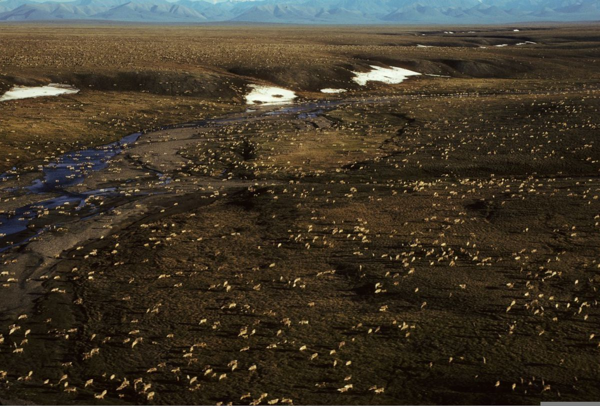FILE - This undated aerial file photo provided by U.S. Fish and Wildlife Service shows a herd of caribou on the Arctic National Wildlife Refuge in northeast Alaska. (U.S. Fish and Wildlife Service via AP, File)