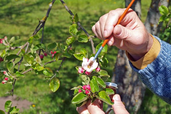 A gardener artificially pollinating an apple tree with a soft brush. (Getty)