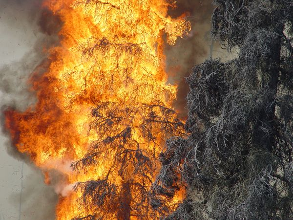 Fire moves through beetle-killed spruce. (Photo provided by Division of Forestry)