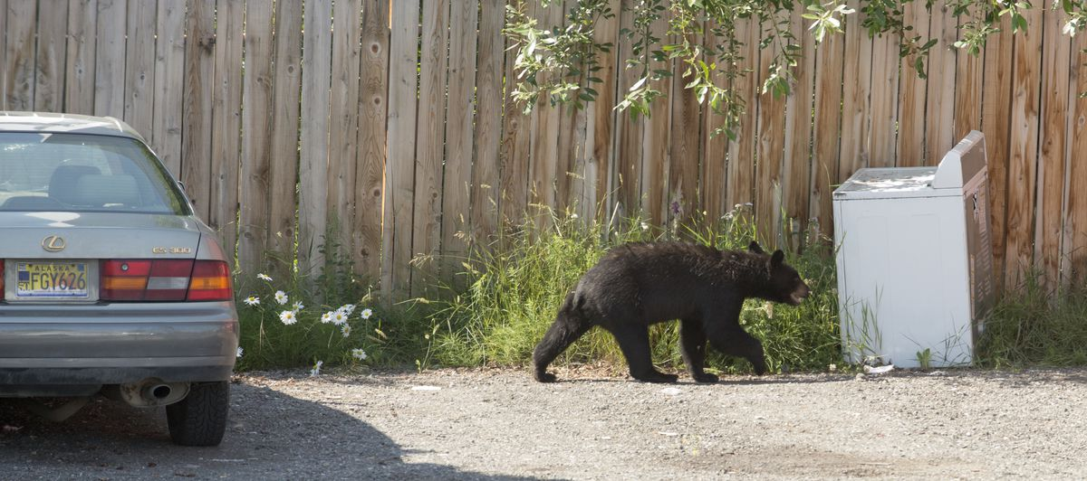 A black bear wanders through Anchorage's Fairview neighborhood, July 12, 2017. (Bob Hallinen / Alaska Dispatch News)