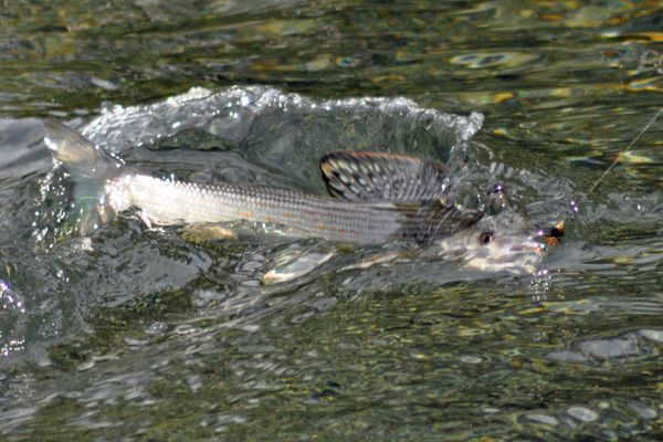 Memorial Day is typically the ideal time for grayling in the Tangle Lakes area. The author expects them to be moving through area creeks at least 10 days earlier than normal.