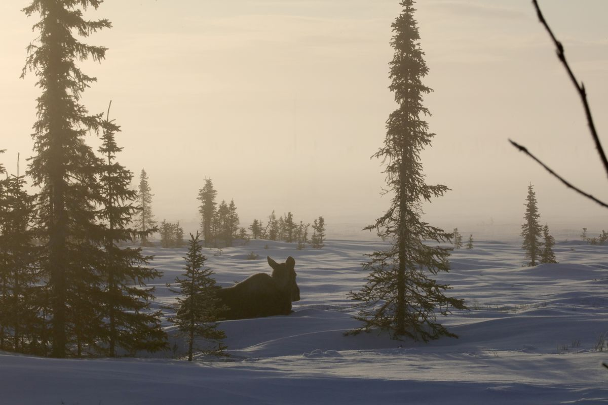 A moose waits for the sun near Kenai in March 2018. Early and deep snowfall finds them burning more fuel than they can find to consume in areas of minimal habitat. Even during winters with minimal snowfall, some moose have a difficult time. (Photo by Steve Meyer)