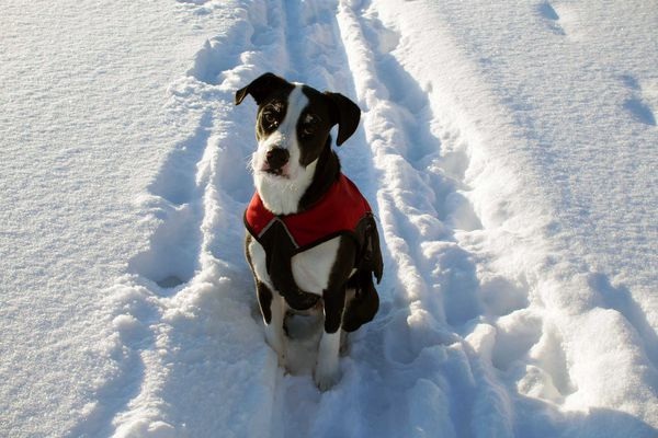 OPINION: Snowmachines are too often used carelessly, and the consequences can be deadly. Pictured: Jack, the author's dog who was killed by a snowmachiner.