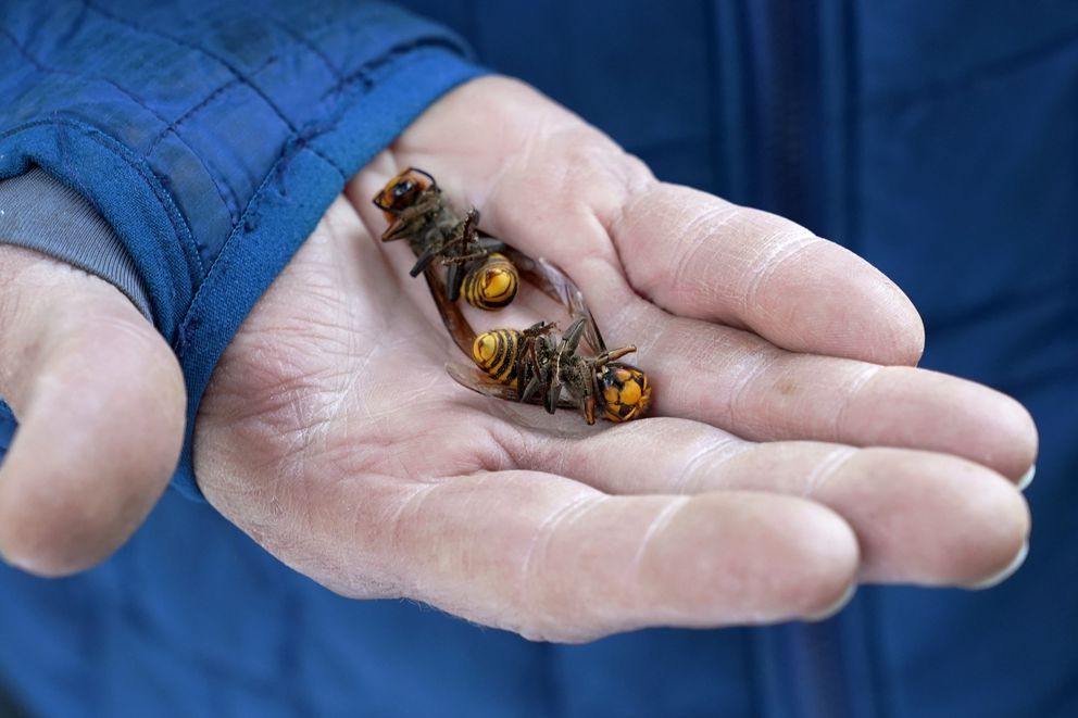 A Washington State Department of Agriculture workers holds two of the dozens of Asian giant hornets vacuumed from a tree Saturday, Oct. 24, 2020, in Blaine, Wash. (AP Photo/Elaine Thompson)