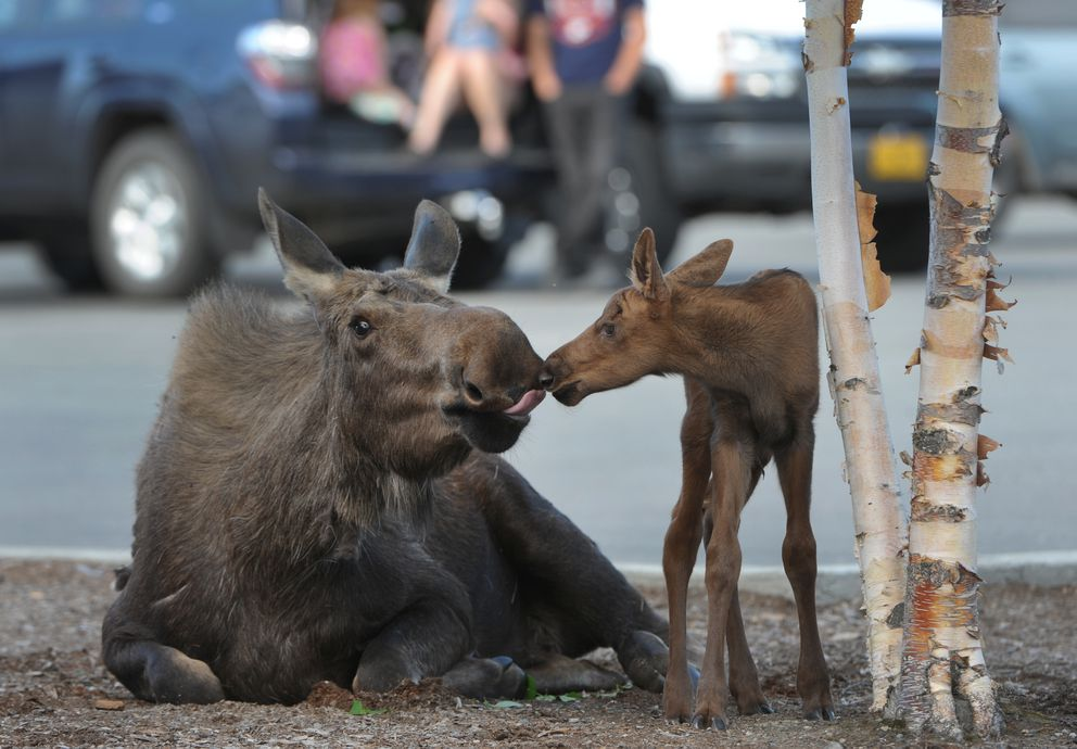 A cow moose tends to her hours-old newborn calf in late May of 2016. (Bill Roth / Alaska Dispatch News)