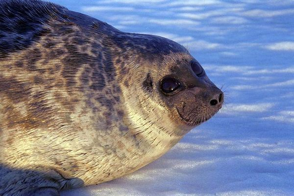 A healthy ringed seal rests on Arctic ice.