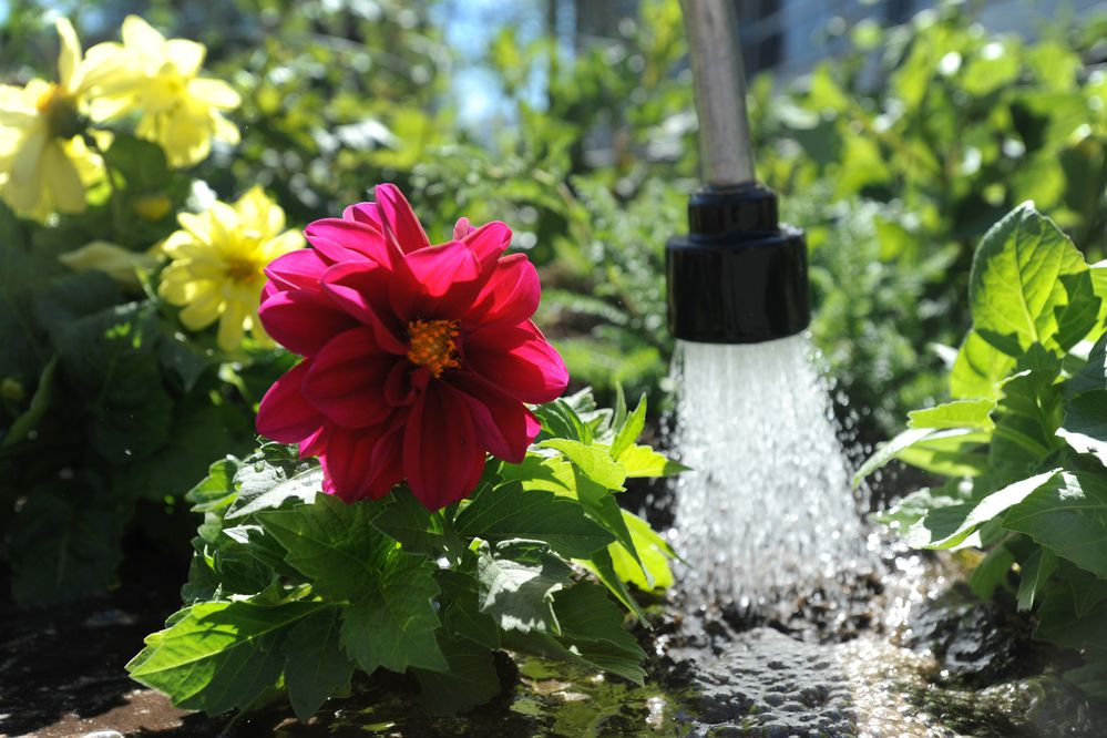 Dahlia's and Yarrow get a good soaking of water after municipal gardeners planted the Dahlia bed at Town Square Park on Tuesday, May 20, 2014. (Bill Roth / ADN)