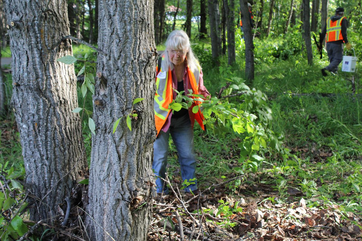 Lanie Fleischer clears brush Saturday from the wooded area off the trail that bears her name. (Tegan Hanlon / ADN)