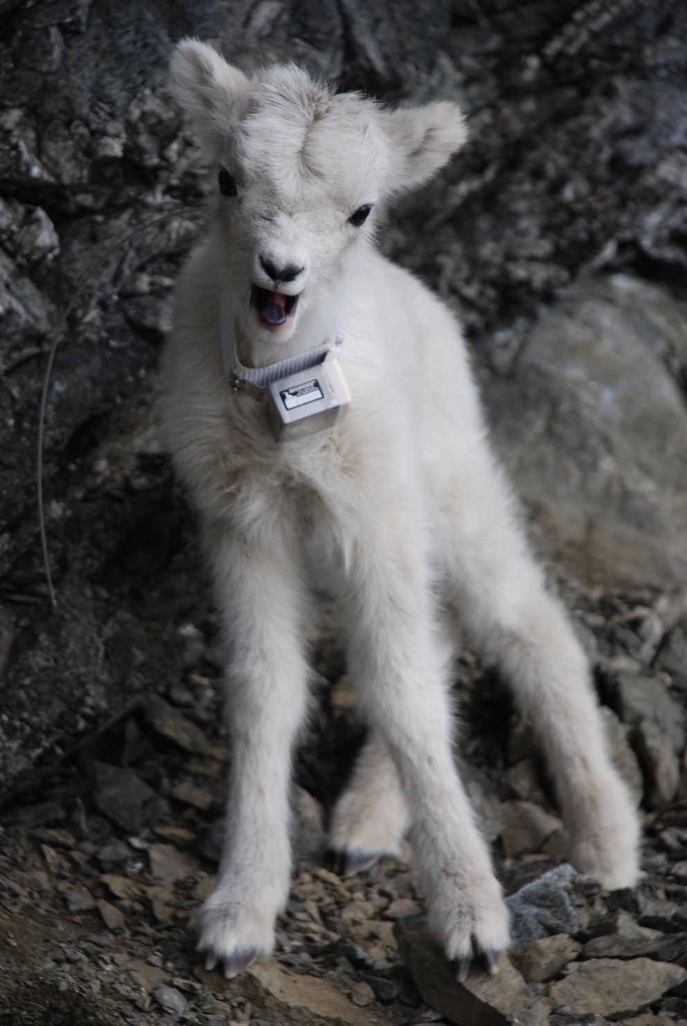 What has happened to our Chugach Dall sheep? - Anchorage ... Fish X Anchorage