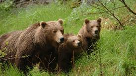 Brown bear sow with cubs kills mine worker in Southeast Alaska