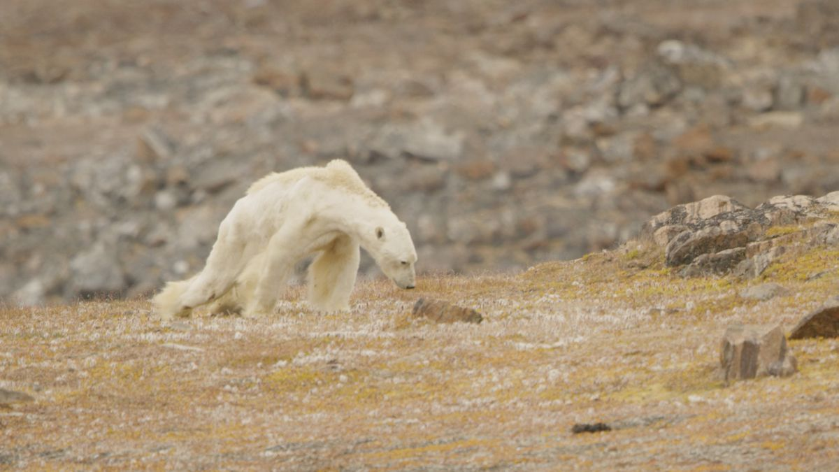 An emaciated polar bear was photographed andfilmed by Paul Nicklen and Cristina Mittermeier in Nunavut, Canada, in late August. (SeaLegacy / Caters)