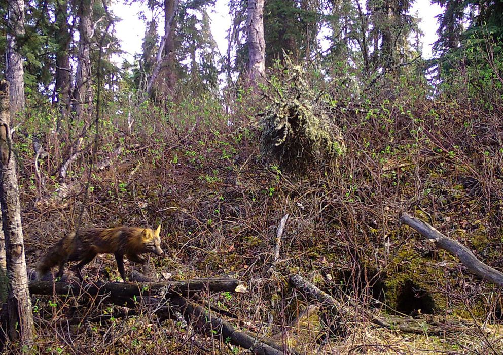 A female red fox that denned in the woods near Fairbanks. (Photo by Ned Rozell)