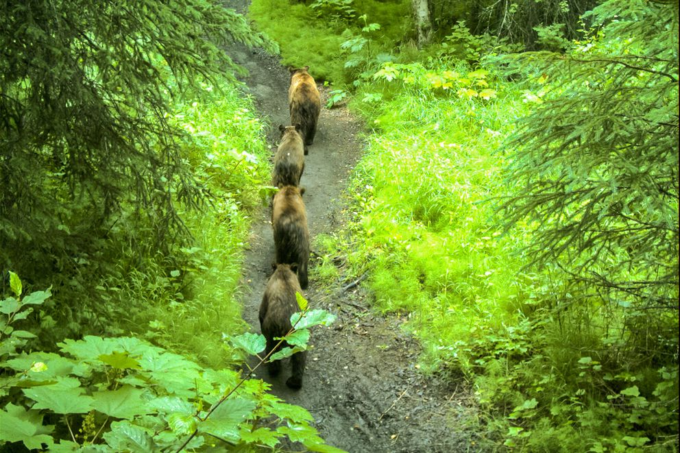 Four brown bears wander down the Rover's Run Trail in Far North Bicentennial Park in this photo taken by a remote camera in 2010. (Alaska Dept. of Fish and Game)