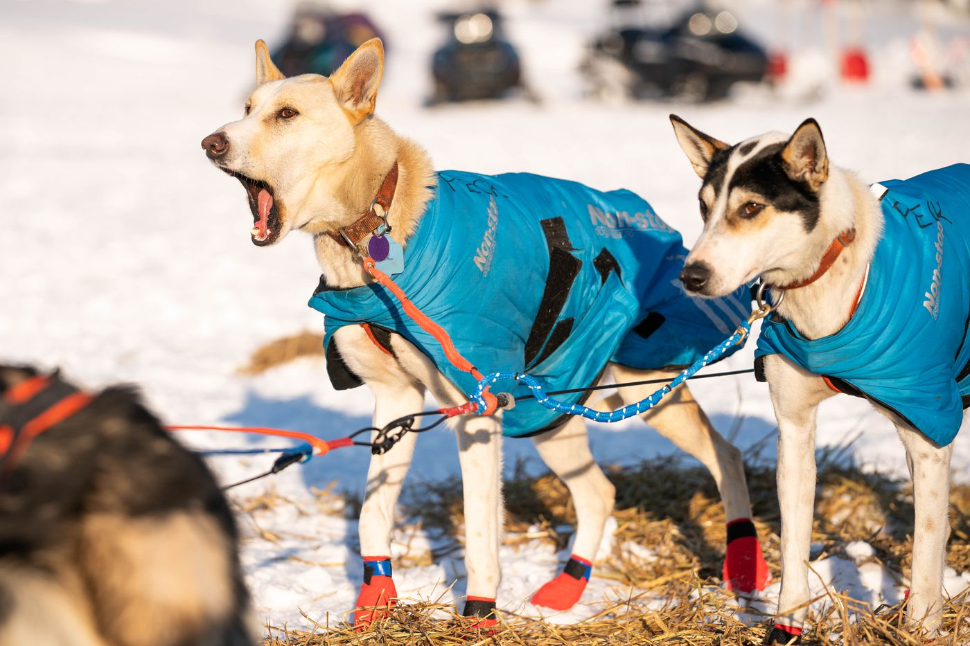 Dogs in Aaron Peck's team howl before leaving Nikolai on Tuesday, March 10, 2020 during the Iditarod Trail Sled Dog Race. (Loren Holmes / ADN)