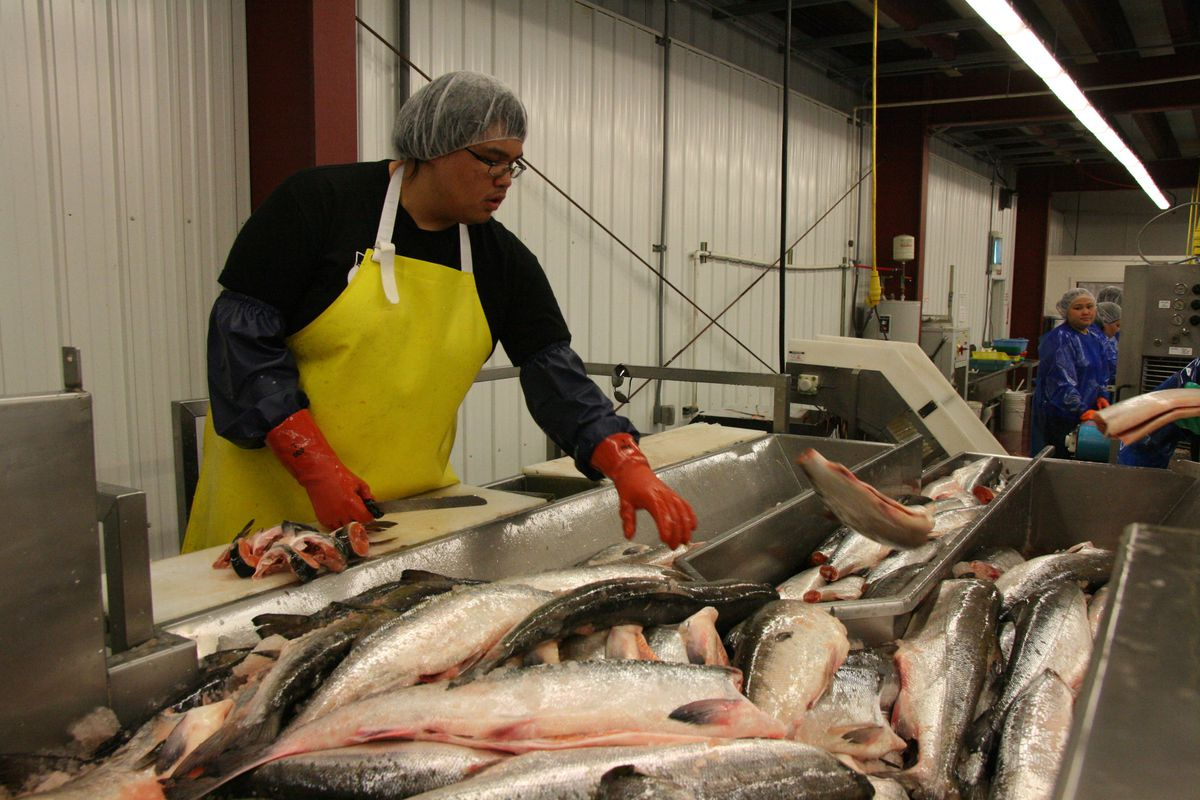 Daniel Edwards of Russian Mission chops off collars and tails of chum salmon in the fillet room of Kwikpak Fisheries on Thursday, June 16, 2016. (Lisa Demer / Alaska Dispatch News)