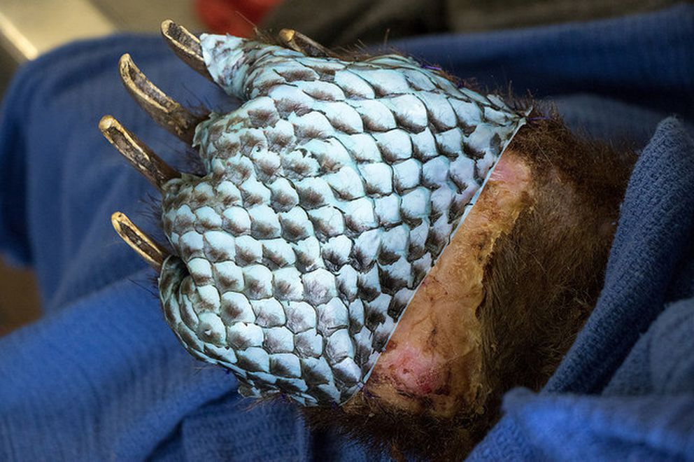 A veterinary team at the University of California at Davis sutured tilapia skin onto the paws of bears burned in California's wildfires. (California Department of Fish and Wildlife)