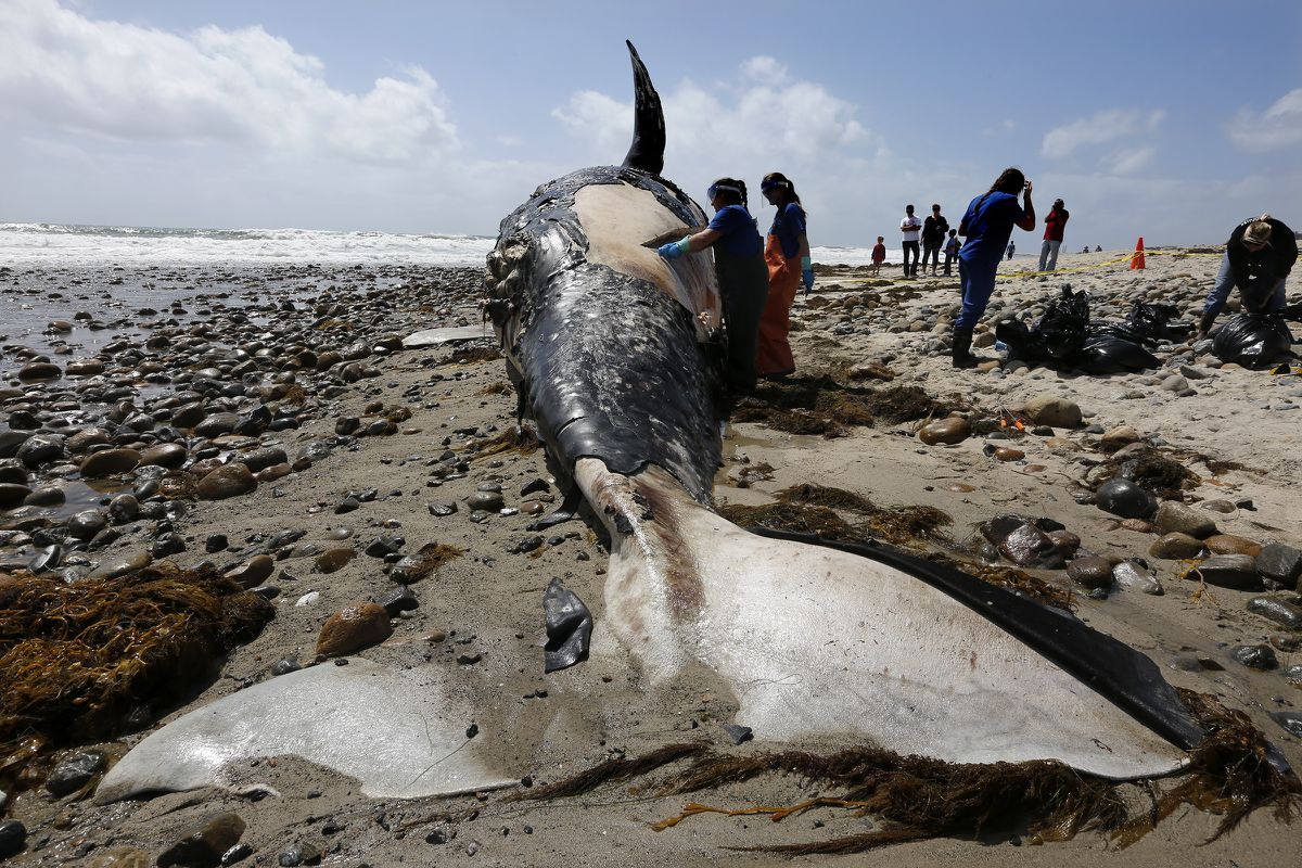 Biologists from the NOAA Southwest Fisheries Service Center take tissue and skin samples from a decomposing 43-foot grey whale on Lower Trestles beach in San Onofre State Park April 25, 2016. (Mark Boster/ Los Angeles Times/TNS)