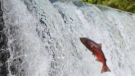 Alaska trollers suffer unfair king salmon quotas amid strong returns