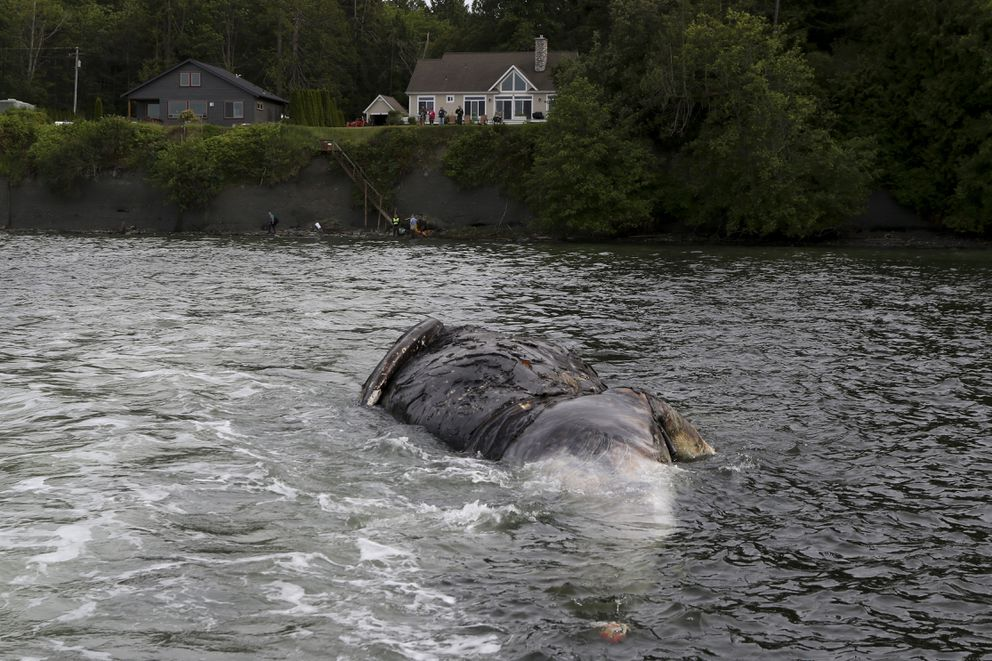 Officials tow a decomposing whale, Tuesday, May 28, 2019, in Port Ludlow, Wash. to a private beach. The National Oceanic and Atmospheric Administration is looking for private landowners who'd be willing to let a dead whale decompose on their property. The unusual request comes two weeks after the federal agency announced they would study what has caused 81 gray whales to wash up dead on beaches in Alaska, Washington, Oregon and California. (AP Photo/John Calambokidis)