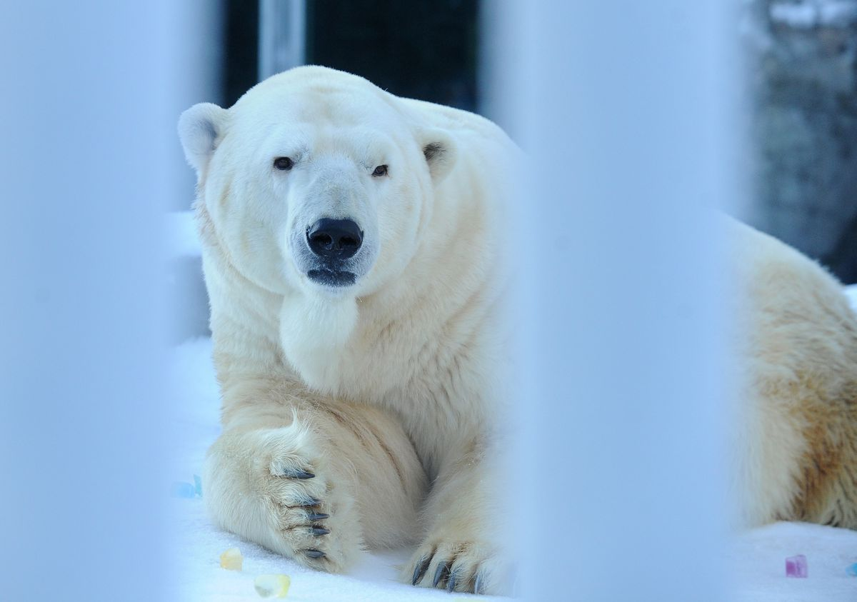 Lyutyik, one of two polar bears at the Alaska Zoo, photographed at the zoo on Saturday, Jan. 20, 2018. The bear known as