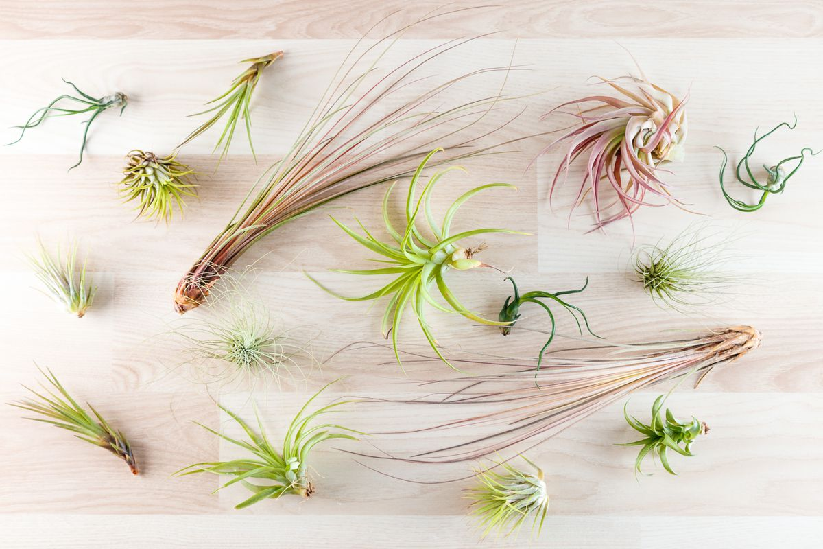 "Various tillandsia ""air plants"" (Getty Images)"