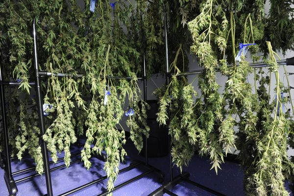 A strain of cannabis called 1nDun dries at the Calm N Collective cannabis cultivation facility in Houston, Alaska, as they prepare some of the first legally grown cannabis in the Mat-Su Valley on Wednesday, April 5, 2017, that will be available at dispensaries by April 20, also known as four-twenty. (Bill Roth / Alaska Dispatch News)