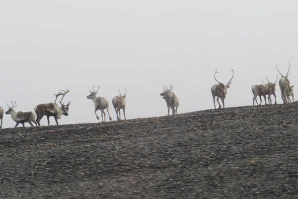 Mulchatna caribou (Alaska Department of Fish and Game)