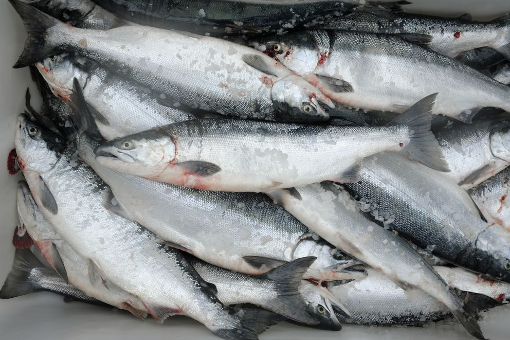 Sockeye salmon in a tote on the fishing boat Whatever, May 4, 2009. (Marc Lester / Anchorage Daily News)