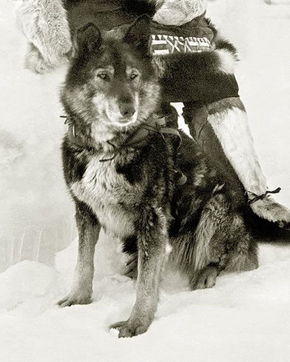 Togo was the lead dog for Leonhard Seppala's team during the longest and most dangerous leg of the serum run to Nome in 1925. (Stefannaumovv via Creative Commons)