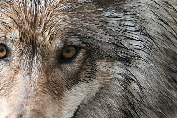OPINION: The only realistic solution to the ongoing decline in Denali National Park wolves is a conservation easement along the park boundary.
