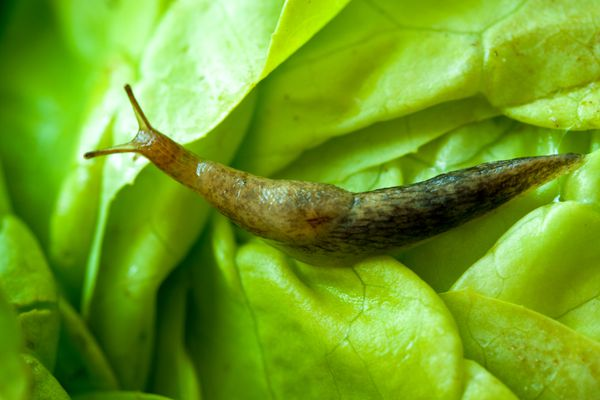 Slugs are invading Southcentral Alaska gardens right now, but there are ways to stop them. (Thinkstock)
