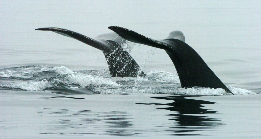 A pair of humpback whales slap their fluked tails as the sound in Unalaska Bay in the Aleutian Islands, Aug. 20, 2005. (Bob Hallinen / Alaska Dispatch News)