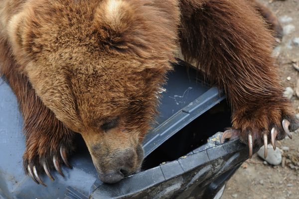 Izzy licks peanut butter from the lid of a bear-resistant trash containers that he partially pried opened during the Bear Aware event at the Alaska Zoo on Mother's Day, Sunday, May13, 2018. (Bill Roth / ADN)