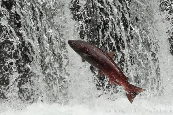 A king salmon that has returned to Ship Creek to spawn attempts to leap over a waterfall near the William Jack Hernandez Sport Fish Hatchery on Wednesday, July 17, 2013. Dozens of Chinook salmon in spawning colors can be seen holding in the flowing waters from viewing areas next to the hatchery. (Bill Roth / ADN)
