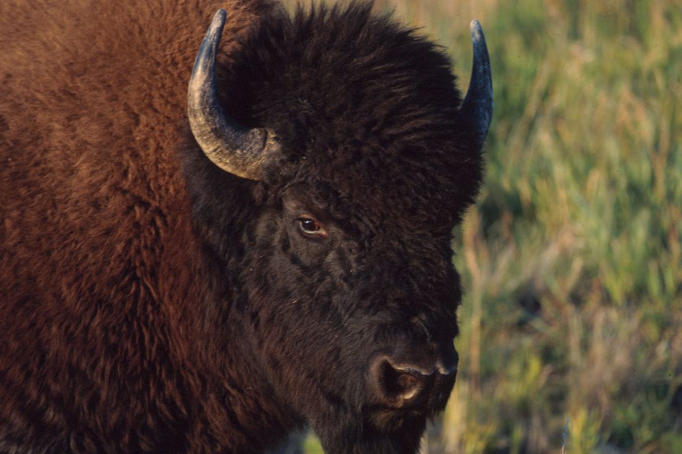 A Yukon wood bison (Yukon government photo)