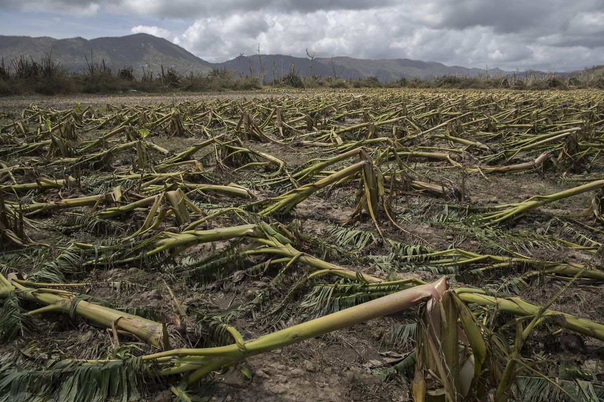 Flattened plantain trees line the ground in Yabucoa, Puerto Rico, Sept. 24, 2017. In a matter of hours, Hurricane Maria wiped out about 80 percent of the crop value in Puerto Rico – making it one of the costliest storms to hit the island's agriculture industry. (Victor J. Blue/The New York Times)